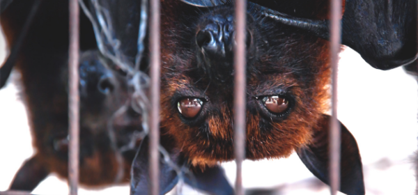 Close up of bats in a cage